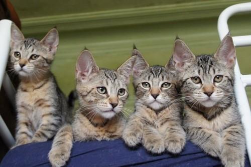 коты в питомнике фото