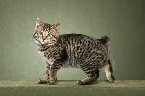 фото котенка курильского бобтейла