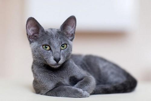Фото котенка русской голубой породы 7 месяцев