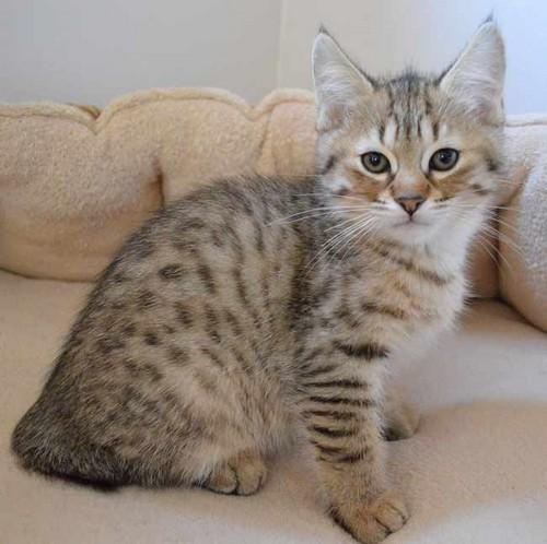 фото котенка пиксибоб