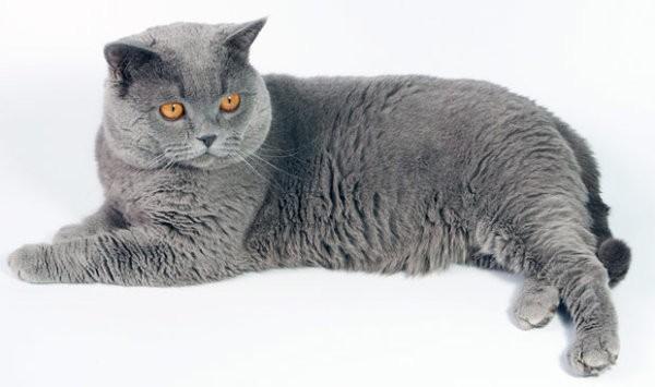 британ кот