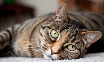 лысина у кота