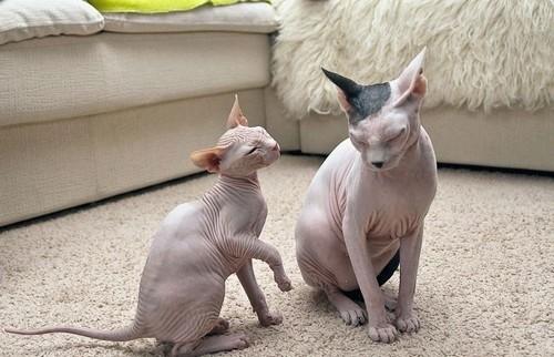 кошки сидят на ковре