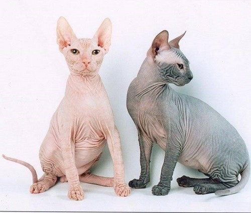 Фото донского сфинкса кот и кошка