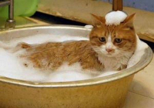 Как часто моют кошку