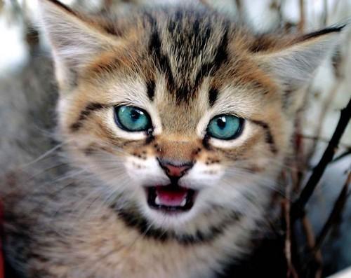 агрессивный котенок