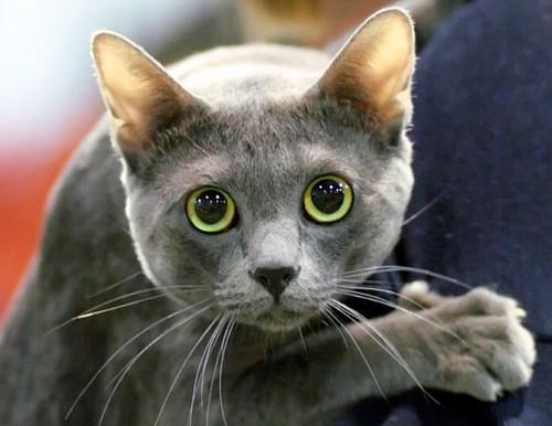 Порода кошек корат