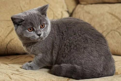 КормRoyal Canin для британских кошек