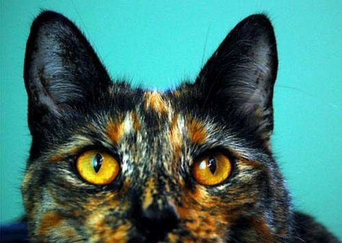 горячие уши у кота