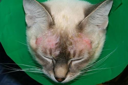 экзема у кошки