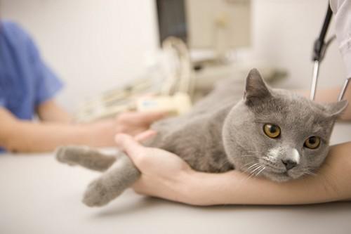 Токсаскаридоз у кошек