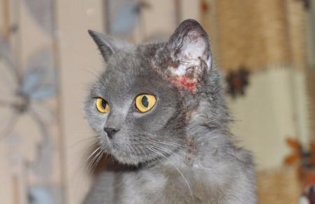 блошиный дерматит у кота