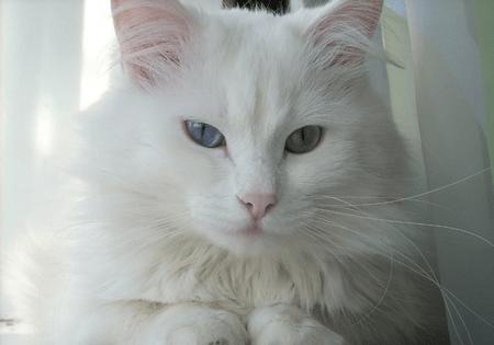 Ангорская кошка фото