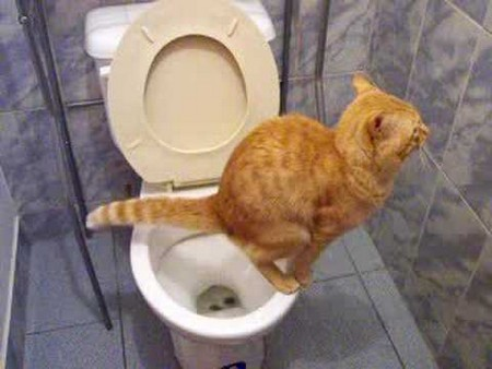Кот ходит по большому в унитаз