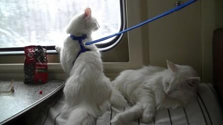 Спокойная кошка в поезде