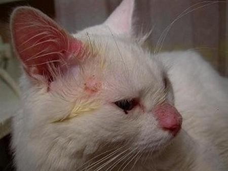 Стафилококк у кошек фото
