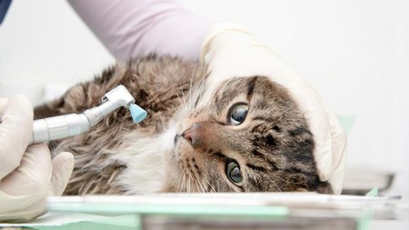 Чистка зубов кошке от зубного камня