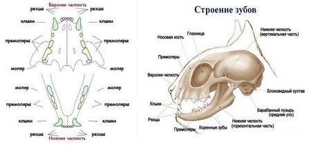 Схема и строение челюсти у кота