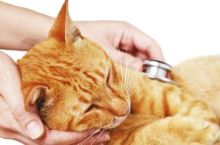 Симптомы сахарного диабета у кошек
