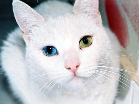 Кошка породы као мани