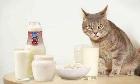Требуются ли молочные продукты кошкам