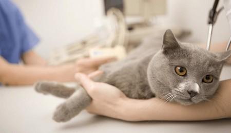 Хронический панкреатит у кошек