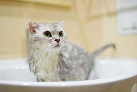 Как часто можно мыть кошку и наличие возможных противопоказаний