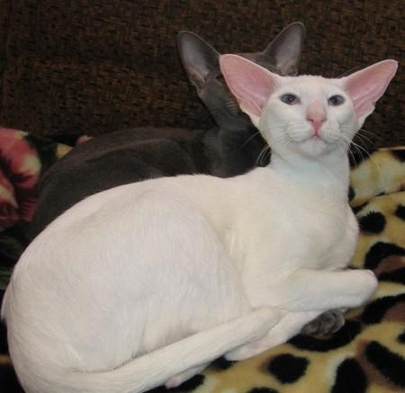 Порода кошек Ориенталы