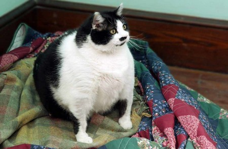 Как похудеть кошке