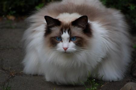 Рэгдолл порода кошек